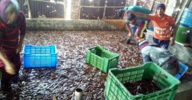 সাতক্ষীরা জেলায় উৎপাদিত কুচিয়া ১৫ দেশে রপ্তানি হচ্ছে: আশাশুনিতে কাজ করে যাচ্ছে উন্নয়ন সংস্থা